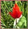 ** Encore une tulipe **