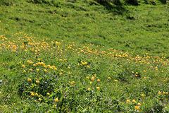 Trollblumenwiese in der Nähe der Gambiel Alm