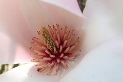 Au ♥ du magnolia