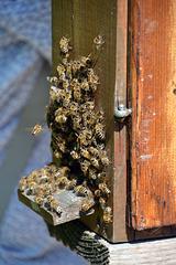 Bienenstau am Einflugportal