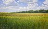 An Ocean of Barley