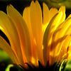 Yellow  fan-for Macro-Monday