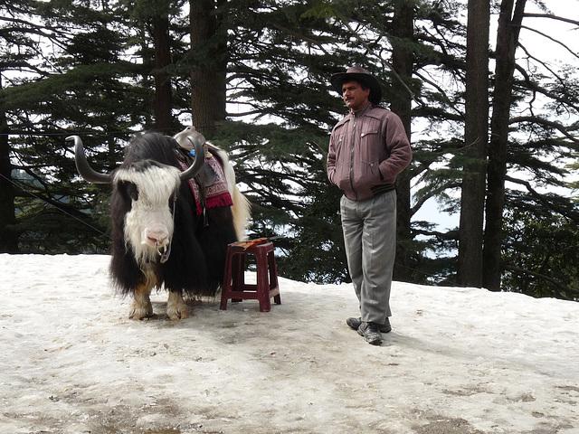 Near Shimla- Yak Ride Opportunity
