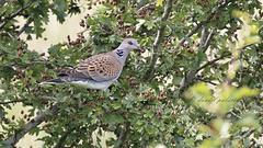 Tourterelle des bois - Streptopelia turtur - European Turtle Dove
