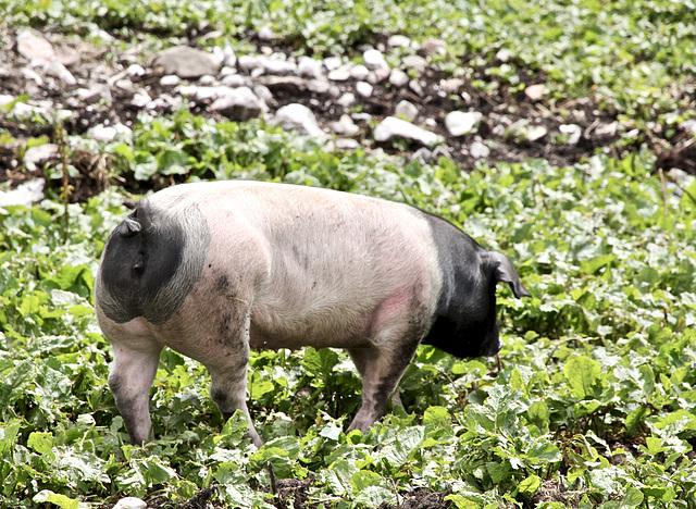 Schwäbisch-Hällisches Landschwein im Hochgebirge