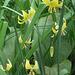 Many dogstooth Violas on a stem!