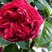 Rose Eric Tabarly pour vous*******