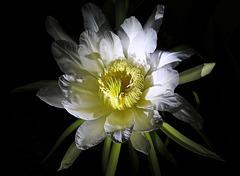 Le  Pitaya du jardin a fleuri (PIP)  Hylocereus polyrhizus