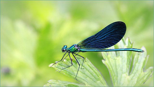 Calopteryx virgo ♂