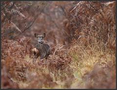 chevreuil mâle en pleine repousse de bois .....