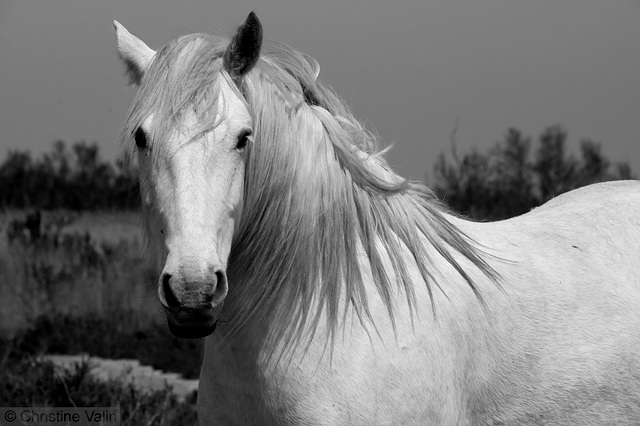 horse from the Camargue