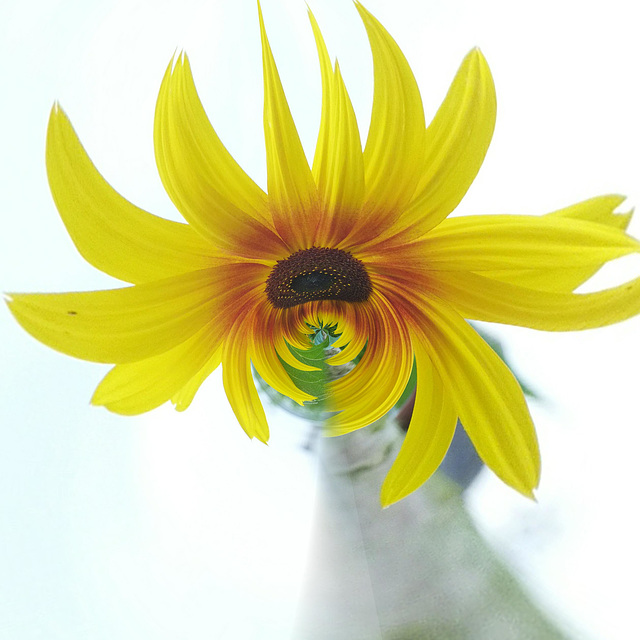 kl. Zausel (((•‿•))) sunflower with a new hairstyle.