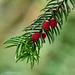Yew Tree Berrys