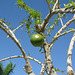 Dominican Republic, Branches of the Calabash Tree and One Fetus