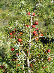 Juniperus oxycedrus - 2004-10-01--Ix500-IMG 0943
