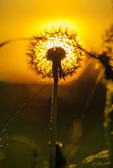 Сонячна кульбабка / Sunny dandelion