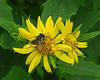 Megachile genus of Leaf Cutter Bee.