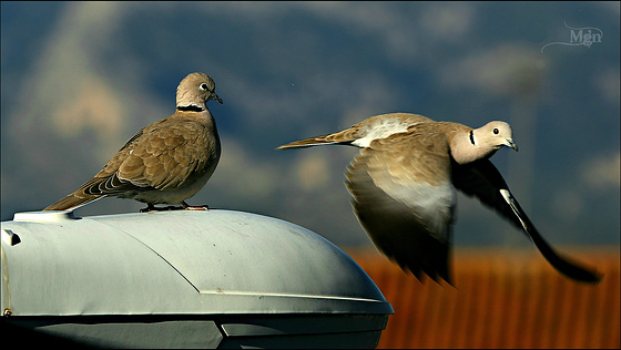 Turtle doves on the street lamp
