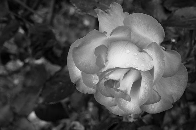 Nuance de rose