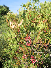 Pistacia lentiscus - 2004-10-01--Ix500-IMG 0944