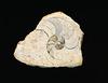 ammonite guts IMG 0010