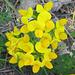 Y like YELLOW corniculatus flower