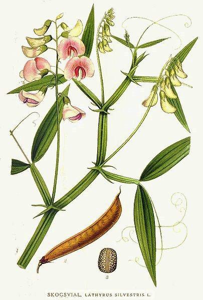 Lathyrus silvestris