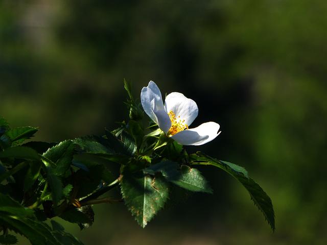 rosellina di macchia