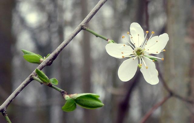 Blüte einer Wildkirsche
