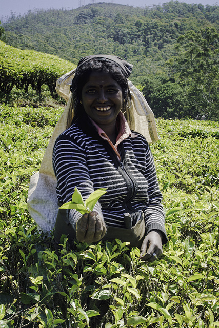 A sympathetic Tamil tea picker
