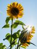 Die Sonnenblume ...
