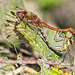 Common Darters Mating (or not now darling, I've got a headache)!