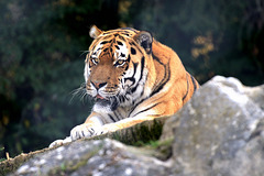 Portrait d'un tigre ...