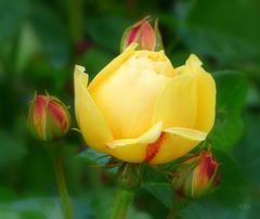 Bon anniversaire, amie Carme, avec la première rose de mon jardin