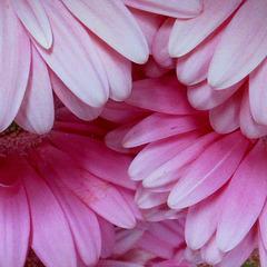 Que des pétales / Only petals