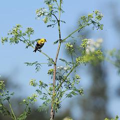 Goldfinch on hemlock