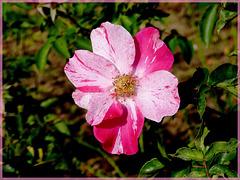 Une petite rose toute simple, et pourtant..