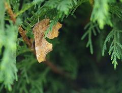 papillon - Robert-le-Diable - (Polygonia c-album)