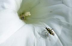 Bugs & Bindweed