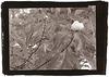 Franklinia alatamaha - Argyrotype