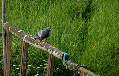 Happy Pigeon on the Fence Friday!