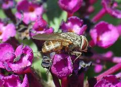Rhiniidae Metallea sp