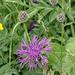 Centaurea scabiosa L. s. str., Gewöhnliche Skabiosen-Flockenblume - 2015-06-12--D4_DSC2621