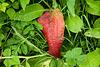 Red Leaf at Kellaways