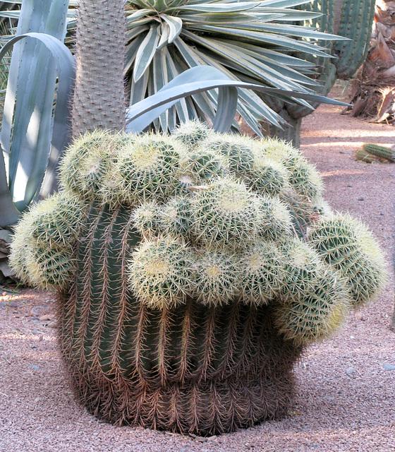 cactus des jardins de Jacques MAJORELLE