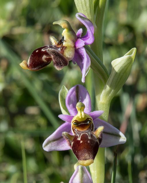 Ophrys scolopax - 2015-04-21--D4 DSC0373
