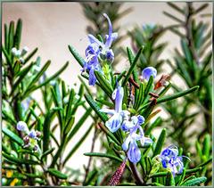 Flowering rosemary... ©UdoSm