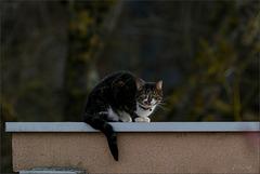 Le chat d'un voisin m'observe tout en réciprocité.
