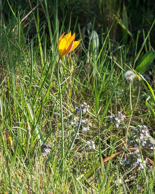 Tulipa australis - 2015-04-21--D4 DSC0398
