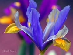 Dwarf  Iris  copy